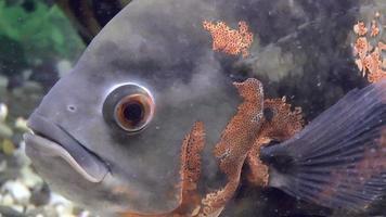Fisch, Astronotus