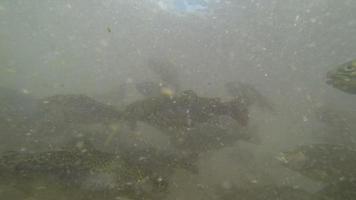 truta arco-íris (oncorhynchus mykiss)