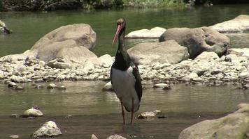 cicogna nera pesca pesce nel fiume di montagna