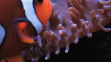 pesce di anemone
