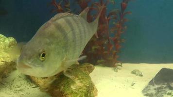 pesce, pesce persico