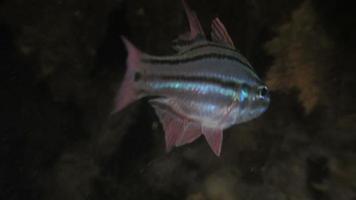 pesce cardinale