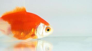 pesce d'oro video
