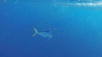 pesce delfino