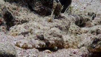 peixe crocodilo