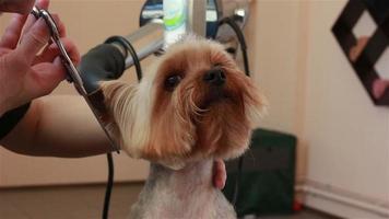 toelettatore che utilizza cesoie diradanti per tagliare i capelli dal muso dello yorkshire terrier