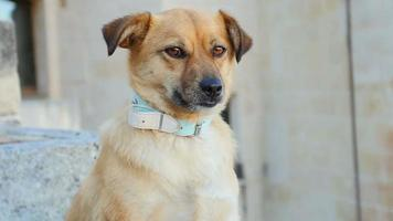Chien mignon debout calme et regardant quelque chose: chien jaune, chien de race mixte
