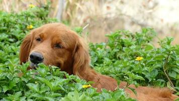 golden retriever está sentado en el arbusto