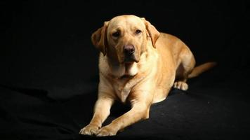 labrador retriever in studio full hd