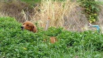 Golden Retriever sitzt im Busch