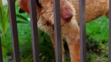 respiración de perro vizsla