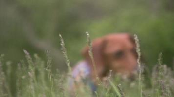 Miniatur-Dackel im Gras, der in Richtung Kamera geht