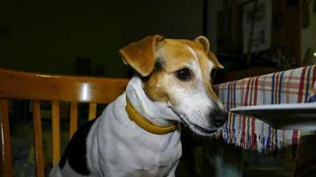 Hungry Dog Breed Jack Russell Terrier 3 video