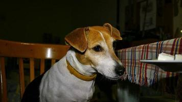 Hungry Dog Breed Jack Russell Terrier 2 video
