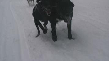 Schlittenhunde rasen durch den Schnee