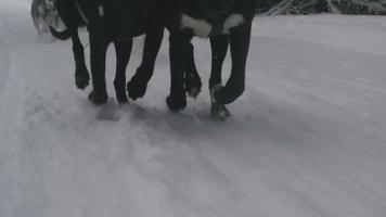 squadra di cani da slitta che corre nella neve
