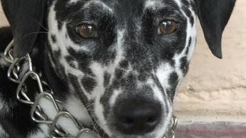 gros plan, de, chien dalmatien