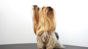 yorkshire terrier su uno sfondo bianco, un cane.