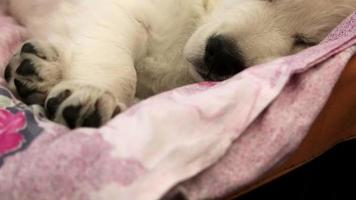 petit chien blanc endormi video