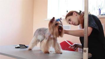 schneidet Haarpfleger Yorkshire Terrier