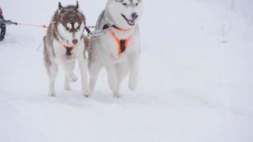 Musher escondido detrás del trineo en la carrera de perros de trineo en cámara lenta