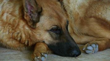 Deutscher Schäferhund schläft auf dem Teppich