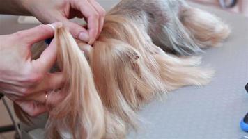 Groomer Yorkshire Terrier kämmt Haare und trägt eine blaue Schleife