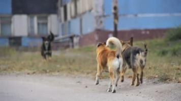 chiens sans abri dans la rue. ralenti video