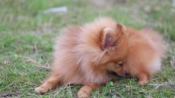 Pomeranian puppy video