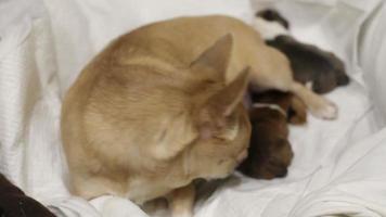Perro chihuahua y 2 cachorros recién nacidos se encuentran en una canasta