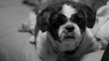 shih tzu blanco y negro video
