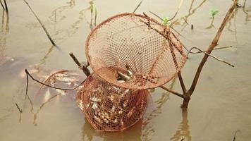 Pescador manteniendo peces recién capturados dentro de una red de jaula en remojo en agua