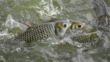 alimentación de peces de lengüeta plateada. video