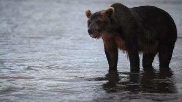 ursos pescando