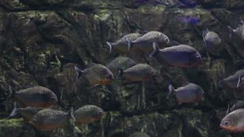 piranha de peixe
