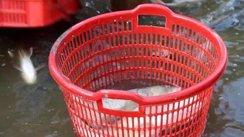 pescare pesci video