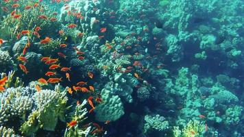 anthias fish video