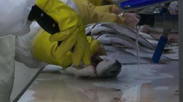 limpando peixes