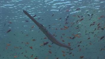 pez corneta video