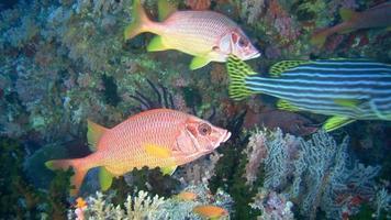 pesce rosso video