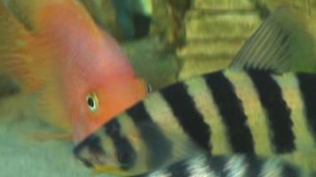 pesci d'acquario
