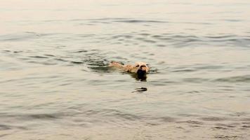 feliz perro labrador nadando y jugando en el mar.