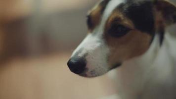 Jack Russell Terrier dog looking at the camera video