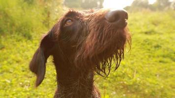perro señalador en la caza, kurzhaar, caza drathaar.