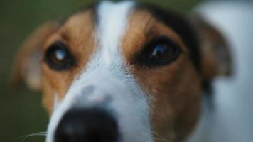 simpatico cane jack russell terrier