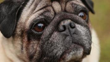 Primer plano de los ojos fieles del perro, pug arrugado mirando hacia arriba, esperando el comando