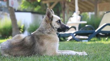 cão husky siberiano no parque. video
