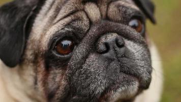 primo piano della faccia rugosa del carlino, cane malato odorando l'aria con il naso secco, veterinaria