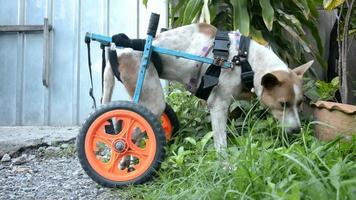 disable dog in a wheelchair eating grass