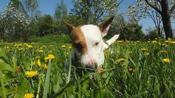 Jack Russell Terrier sits on meadow with grass video